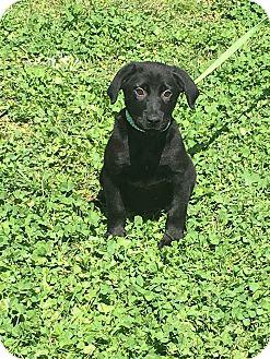 Labrador Retriever Mix Puppy for adoption in East Hartford, Connecticut - Drake-meet me 4/21