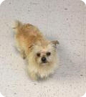 Terrier (Unknown Type, Small) Mix Dog for adoption in Shawnee Mission, Kansas - Smitty