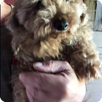 Poodle (Standard)/Yorkie, Yorkshire Terrier Mix Dog for adoption in New Philadelphia, Ohio - Rex