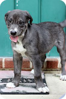 Catahoula Leopard Dog Mix Puppy for adoption in Waldorf, Maryland - Nickles