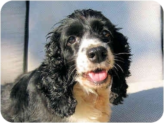 Cocker Spaniel Dog for adoption in Mahwah, New Jersey - Ethel