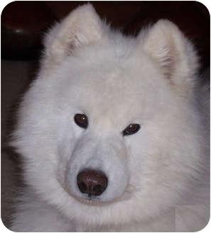 Samoyed Dog for adoption in Arvada, Colorado - Sampson