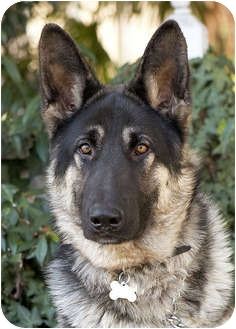 German Shepherd Dog Dog for adoption in Los Angeles, California - Cito von Cologne