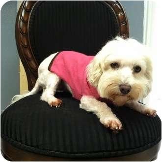 Maltese Dog for adoption in Columbia, South Carolina - Prissy
