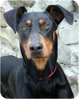 Doberman Pinscher Dog for adoption in Fillmore, California - Freedom
