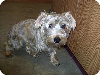 Yorkie, Yorkshire Terrier Dog for adoption in Cranford, New Jersey - Osco