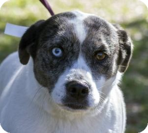 Catahoula Leopard Dog Mix Dog for adoption in Gainesville, Florida - Katie