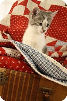 Domestic Shorthair Kitten for adoption in Homewood, Alabama - Smokey