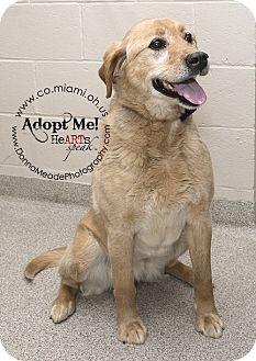 Labrador Retriever Mix Dog for adoption in Troy, Ohio - Laverne