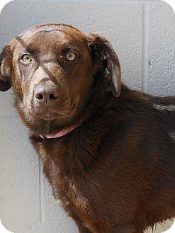 Labrador Retriever Mix Dog for adoption in Price, Utah - Zena