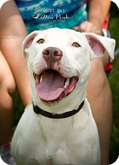 American Bulldog Puppy for adoption in Fort Valley, Georgia - Petey