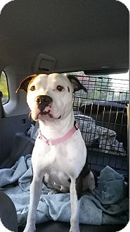 Staffordshire Bull Terrier Mix Dog for adoption in Murfreesboro, Tennessee - Audrey