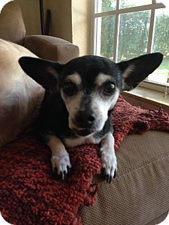 Chihuahua Mix Dog for adoption in Ft. Lauderdale, Florida - Genie