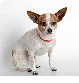 Chihuahua/Rat Terrier Mix Dog for adoption in Studio City, California - Tink