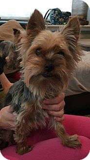 Yorkie, Yorkshire Terrier Dog for adoption in Runnemede, New Jersey - Lila