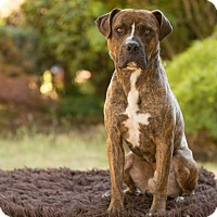 Adopt A Pet :: Ruger - Salem, OR