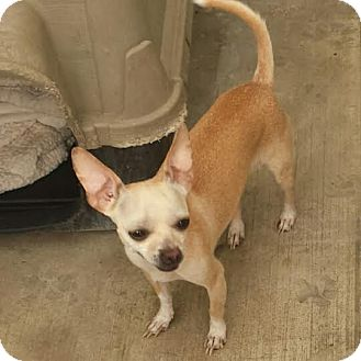 Chihuahua Mix Dog for adoption in Westminster, California - Pique
