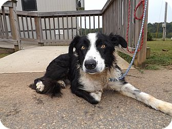 Collie Mix Dog for adoption in Thomaston, Georgia - Duster