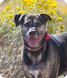 Catahoula Leopard Dog/Rottweiler Mix Dog for adoption in Washoe Valley, Nevada - Maggie