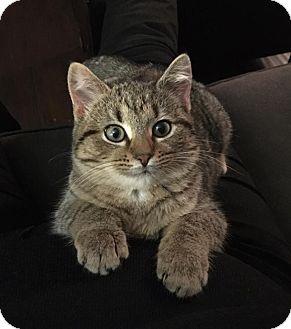 Bengal Kitten for adoption in Nashville, Tennessee - Delilah Jane