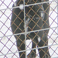 Adopt A Pet :: PUDGE - New Plymouth, ID