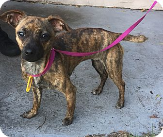 Chihuahua Mix Dog for adoption in Palm Harbor, Florida - Holley