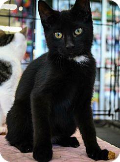 Domestic Shorthair Kitten for adoption in Wayne, New Jersey - KT