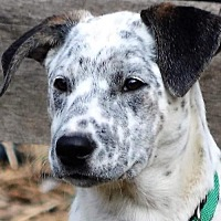 Dalmatian/Pointer Mix Puppy for adoption in Chambersburg, Pennsylvania - Mrs B (just a baby)