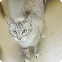 Siamese Cat for adoption in Freeport, Florida - Bubbles