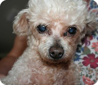 Poodle (Miniature) Mix Dog for adoption in Antioch, California - Lambchop