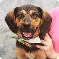Beagle/German Shepherd Dog Mix Dog for adoption in Garfield Heights, Ohio - Travis-PENDING