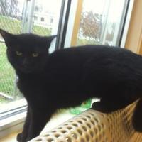 Domestic Shorthair/Domestic Shorthair Mix Cat for adoption in Cumming, Georgia - Sky 113-17