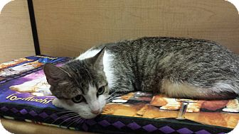 Domestic Shorthair Cat for adoption in Whittier, California - Norma