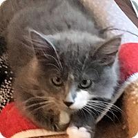 Adopt A Pet :: Bindi - Prescott, AZ