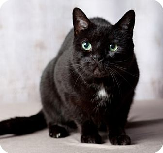 Domestic Shorthair Cat for adoption in Rochester, New York - Kitty