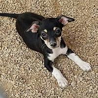 Adopt A Pet :: Maddy's Macbeth - Las Vegas, NV