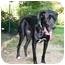 Photo 3 - Great Dane/St. Bernard Mix Dog for adoption in Topsham, Maine - Tink