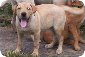 Labrador Retriever Mix Puppy for adoption in Brewster, New York - Dakota