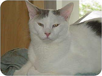 Domestic Shorthair Cat for adoption in Watkinsville, Georgia - Jack