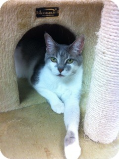 Domestic Shorthair Cat for adoption in Palatine, Illinois - Rihana