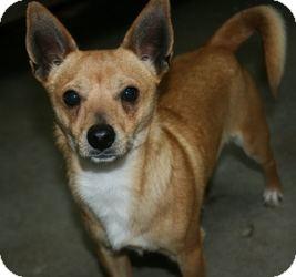 Basenji Mix Dog for adoption in Canoga Park, California - Happy