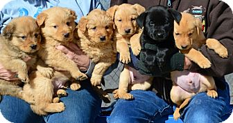 Labrador Retriever/Chow Chow Mix Puppy for adoption in Gardnerville, Nevada - Puppies
