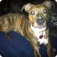 Adopt A Pet :: Roxie - justin, TX