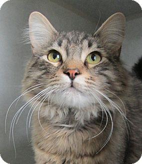 Maine Coon Cat for adoption in Pueblo West, Colorado - Dunkin