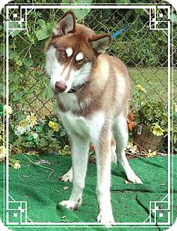 Siberian Husky Dog for adoption in Marietta, Georgia - ROCKY
