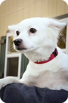 American Eskimo Dog Dog for adoption in Anderson, Indiana - Layla