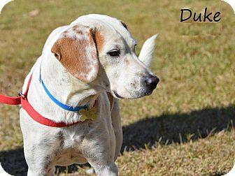 Pointer/Coonhound (Unknown Type) Mix Dog for adoption in Middletown, Rhode Island - Duke