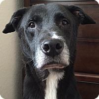 Adopt A Pet :: Bogart - Orlando, FL