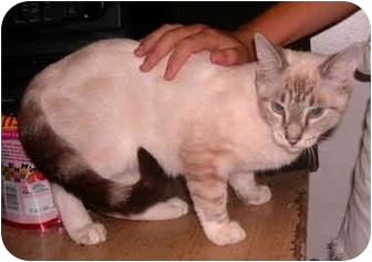 Siamese Cat for adoption in Huntingdon, Pennsylvania - Prudence