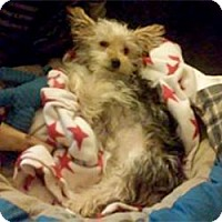 Adopt A Pet :: Laddie - Lancaster, TX